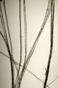 Flax plant fibres