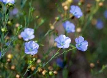 Flax flower