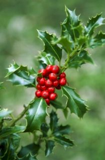 Sprig of holly with red berries