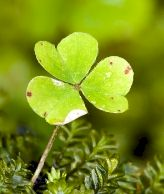 Single head of shamrock.