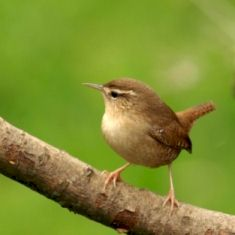 Wren on tree branch
