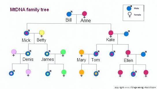 MtDNA family tree.