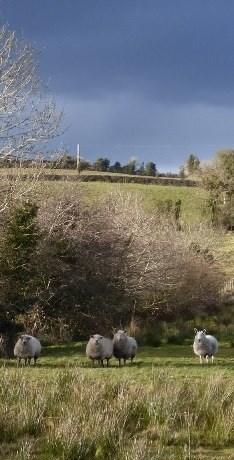 Sheep in field, Leitrim, Ireland