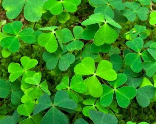 The Shamrock Plant Is One Of The Best Known Symbols Of Ireland