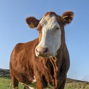 A cow on Cape Clear, Ireland.