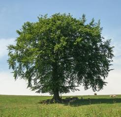 Tree in full leaf, sheltering lambs